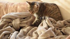 Comportamiento felino - gato que amasa y que chupa en las mantas almacen de metraje de vídeo