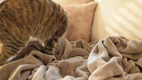 Comportamiento felino - gato que amasa y que chupa en las mantas metrajes