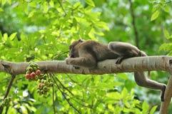 Comportamientos del mono en la naturaleza, macaques salvajes Foto de archivo libre de regalías