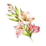 Composição com alstroemeria Ilustração da aquarela da tração da mão Fotografia de Stock Royalty Free