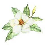 Composição com magnólia Ilustração da aquarela da tração da mão Imagens de Stock Royalty Free