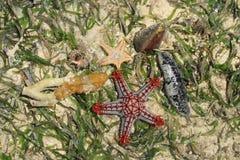 Composição da estrela do mar e das conchas do mar na água salgada e nas algas do Oceano Índico fotografia de stock