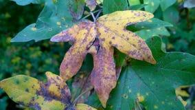 Composição das folhas de outono com as folhas coloridas do bordo fotos de stock royalty free