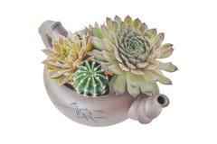 Composição das plantas carnudas em um bule cerâmico em um backgroun branco imagem de stock royalty free