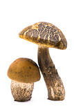 Composição de dois cogumelos Fotografia de Stock
