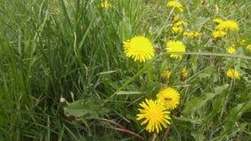 Composição de florescência da flor do dente-de-leão na grama verde ilustração stock