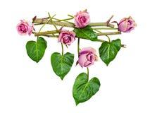 Composição de rosas roxas e das folhas isoladed Imagens de Stock Royalty Free