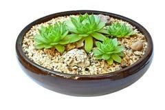 Composição dos succulents Imagem de Stock