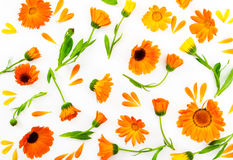 Composição lisa da configuração com o calendula das flores no fundo branco Fotos de Stock