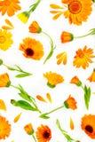 Composição lisa da configuração com o calendula das flores no fundo branco Fotos de Stock Royalty Free