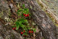 A composição natural de arandos vermelhos em um pinheiro velho abatido na floresta Fotografia de Stock