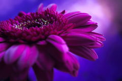 Composição roxa 1. da flor. Fotos de Stock Royalty Free