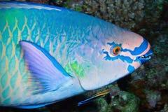 Composição Variegated de peixes do papagaio, Maldives Imagens de Stock Royalty Free