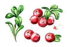 Composições do arando ajustadas Bagas frescas com folhas e ramos Entregue a ilustração tirada da aquarela isolada no backgrou bra ilustração stock