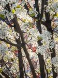 Composición apretada de un peral floreciente en la floración imagen de archivo libre de regalías