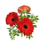 Composición con las flores rojas del gerbera Aislado Imagen de archivo