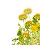 Composición con los dientes de león brillantes amarillos aislados Fotos de archivo libres de regalías
