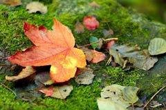 Composición de la hoja de arce del otoño Imagenes de archivo