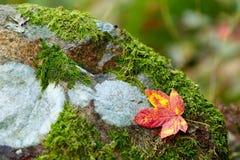 Composición de la hoja de arce del otoño Imagen de archivo libre de regalías