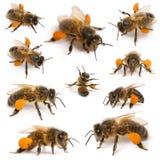 Composición de las abejas occidentales de la miel Fotografía de archivo libre de regalías