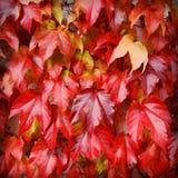 Composición de las hojas del rojo de la hiedra Fotos de archivo libres de regalías