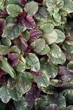 Composición de las hojas multicoloras de la hierba Hypoestes del suelo encendido imágenes de archivo libres de regalías