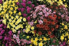 Composición de los crisantemos Fotografía de archivo libre de regalías