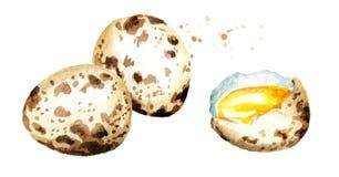 Composición de los huevos de codornices Ejemplo dibujado mano de la acuarela aislado en el fondo blanco Imagenes de archivo