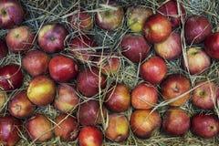 Composición de manzanas en el heno imágenes de archivo libres de regalías