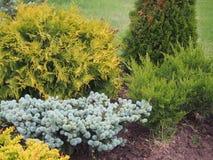 Composición de plantas coníferas y de hojas caducas El diseño del jardín Imágenes de archivo libres de regalías