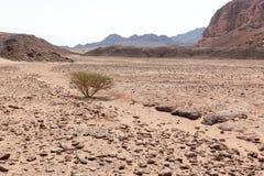 Composición del landscspe de la gama de montañas del árbol del desierto Fotografía de archivo