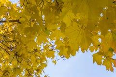 Composición del otoño con las hojas de arce amarillas Foto de archivo libre de regalías