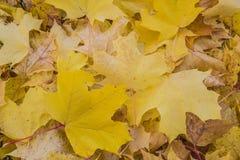 Composición del otoño con las hojas de arce amarillas Fotos de archivo