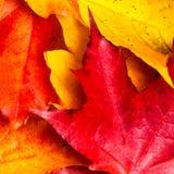 Composición del otoño con las hojas de arce amarillas en el tabl de madera blanco Imagenes de archivo