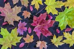 Composición del otoño con las hojas de arce coloridas Imagenes de archivo