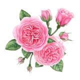 Composición floral de rosas, de brotes y de hojas ingleses rosados Ejemplo pintado a mano de la acuarela foto de archivo libre de regalías