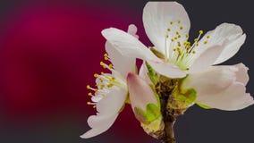 Composición floreciente de la flor del albaricoque metrajes