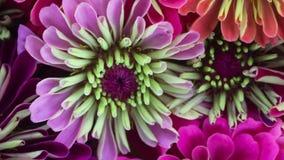Composición floreciente de las flores del Zinnia metrajes