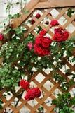 Composición salvaje roja del arbusto color de rosa Foto de archivo libre de regalías