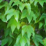 Composición verde de las hojas de la hiedra Fotografía de archivo