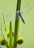Composición con la libélula Imágenes de archivo libres de regalías