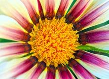 Compositae. Closeup flower stamen Stock Photos