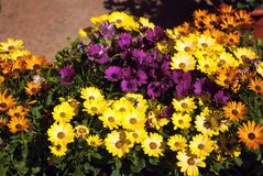 Compositae composition. Composition of flowers of Compositae Family Royalty Free Stock Photography