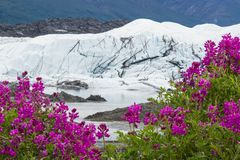 Alaska Sweet Pea in front of the icefall of the Matanuska Glacier. A composite hyperfocal image two images combined to ensure sharp focus close and far of wild stock photo