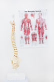 Composite image of anatomical spine Stock Image