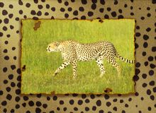 Composite image of cheetah walking through high grasslands in Kenya, Africa layered on a cheetah pelt background Royalty Free Stock Images