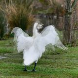 Composite image of several images showing a swan flapping it`s w Royalty Free Stock Photo