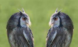 Free Composite Mirror Image Scops Owl Stock Photography - 178852932