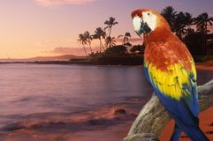 Composite panoramic image of a colorful parrot and coastline in Hawaii at sunset Stock Photo