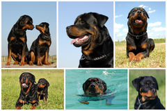 Composite picture rottweiler Royalty Free Stock Images